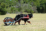 An Introduction to Canine Carting by Beth Ostrander